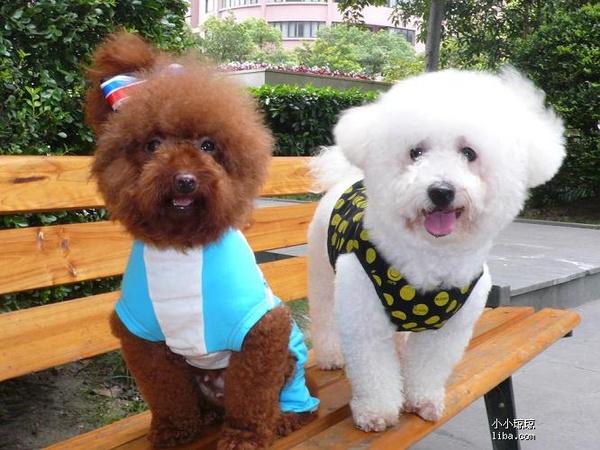 区分比熊犬和泰迪:比熊和泰迪有哪些区别