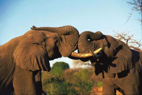 南非五大兽都去拍《疯狂动物城》去了