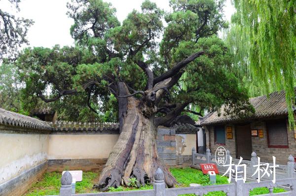 河南最有灵气的二十颗古树,成就多少不朽传说 | 豫记 - 豫记 - 豫记