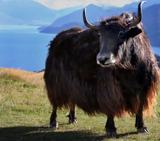 不过,随着野牦牛进入了国家一级保护动物的名单,要想再得到这样一柄肉